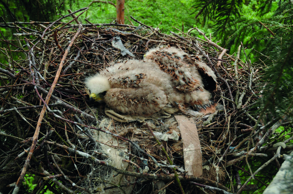 Junge im Nest © S. Thorn