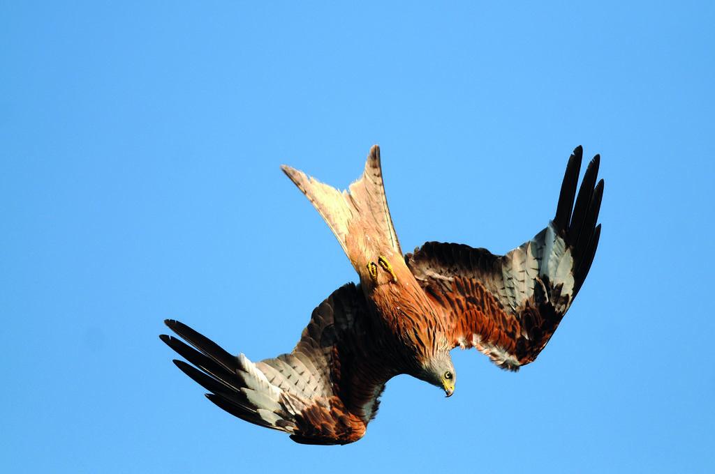 Rotmilan im Flug © C. Gelpke